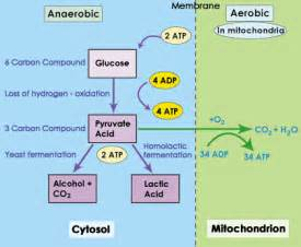 anaerobic picture 7