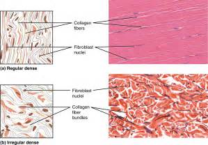 diagrams of skeletal muscle fiber picture 13