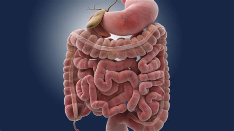 how long does digestion take in small intestine picture 1