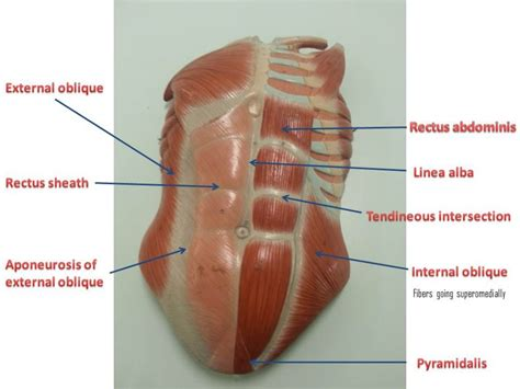 lower abdonimal muscle twitches picture 1