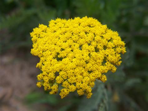 yellow yarrow picture 1