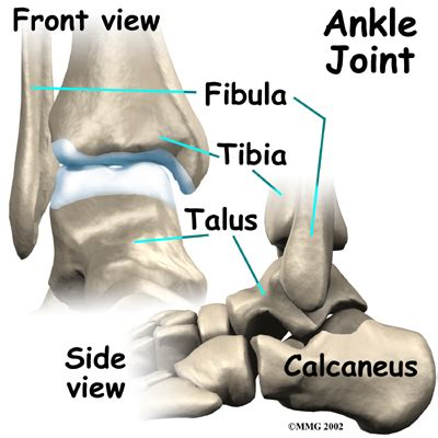 ankle joint picture 13