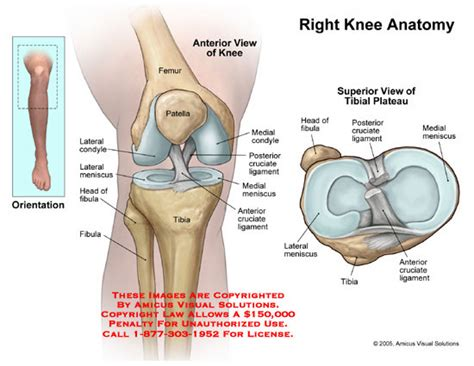 diagram of knee joint plavic band picture 7