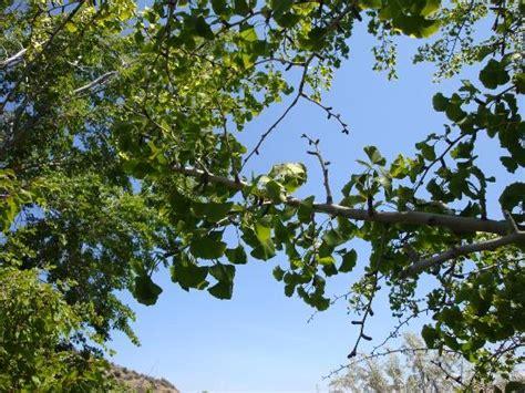 washington state ginkgo tree retailers picture 2