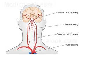 blood flow areas, human brain picture 7