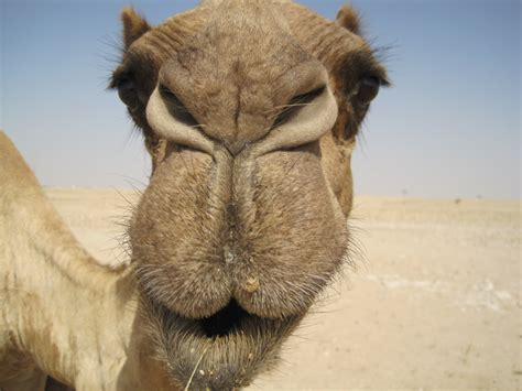 camel tooth symbolism picture 6