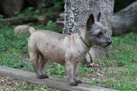 carin terrier hair cuts picture 5