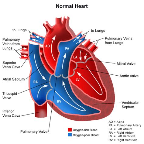 picture blood flow heart picture 2
