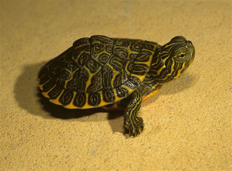 diet of the river cooter turtles picture 1