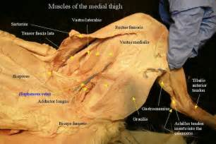 cat muscle anatomy picture 14