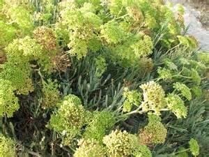 sea fennel picture 6