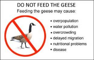 do geese have h picture 2