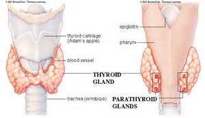 parathyroid gland picture 1