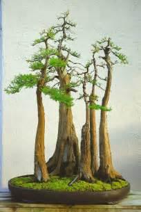 bonsai ginkgo training picture 9