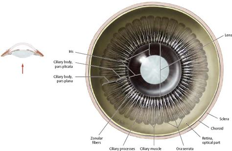 ciliary muscle and trigeminal eye pain picture 7