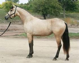 buck skin horse picture 2
