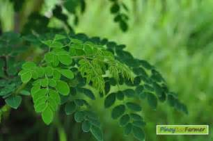 herbal medicine benefits of dahon ng sili picture 5
