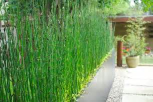 horsetail bamboo picture 3