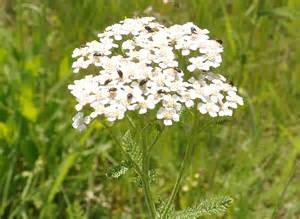 buy western yarrow picture 1
