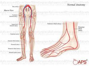 lower leg artery anatomy on web md picture 6