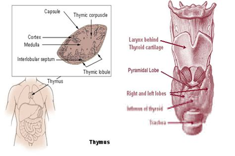 low active thyroid medicine picture 6