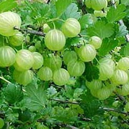 ayurvedic herb brahmi and its bengali cousin herb picture 7