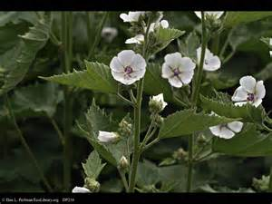purchase of marsh mallow picture 5