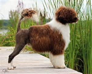 portuguese water dogs health picture 15