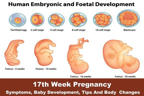can menstrogen abort a three weeks old pregnancy picture 10