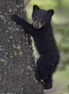 black bear herbal picture 9