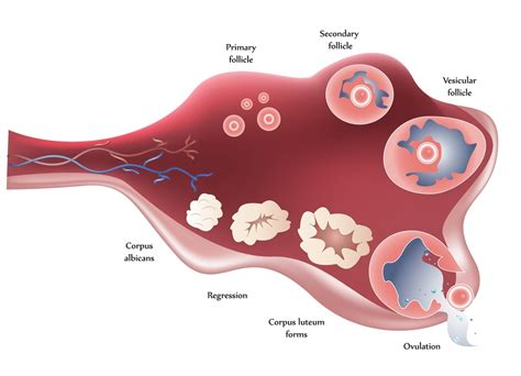 herbal cleanse changed painful ovulation picture 9