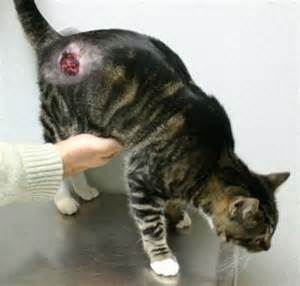 feline skin cancer picture 3