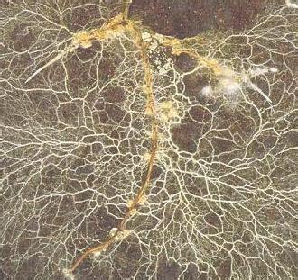 mycorrhizal fungi picture 10
