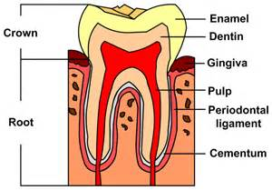 tooth anatomy text picture 7