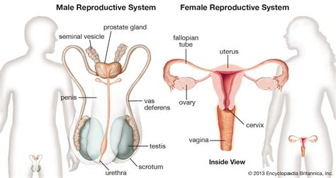 reproductive picture 5