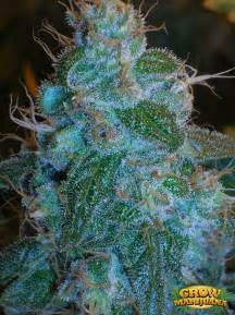 where can i buy blueberry haze herbal picture 17