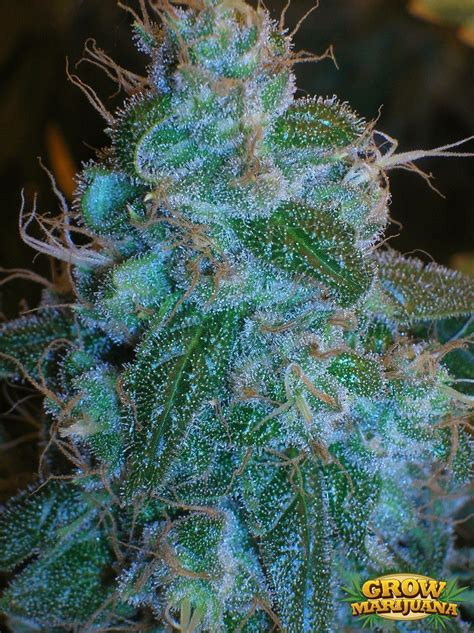 where can i buy blueberry haze herbal picture 8