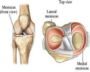 meniscus muscle picture 6