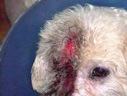 bichons and skin problems picture 7