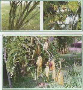 sibucao herbal tree picture 1