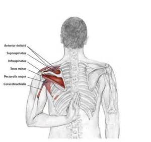 losing muscle between your shoulder joints picture 2