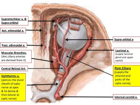 ciliary muscle picture 7
