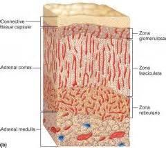 adrenal gland picture 6