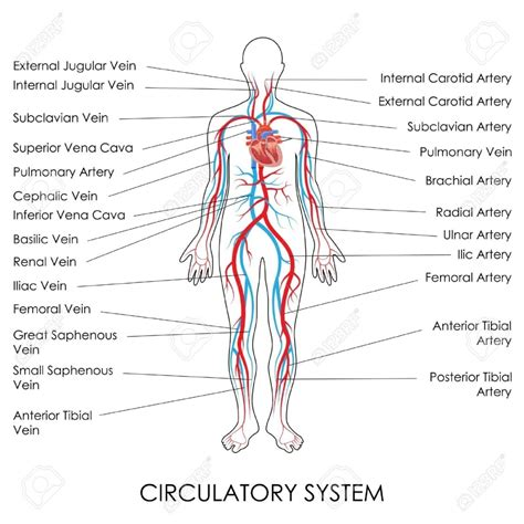 Blood circulation in human picture 1