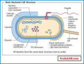 Bacterial cell walls picture 2