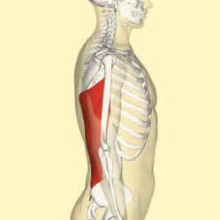latissimus dorsi muscle picture 18