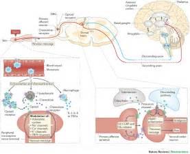 what supplement binds to opiate receptors picture 18