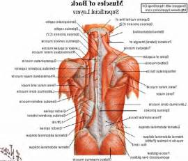 low back muscle charts psoasis picture 11