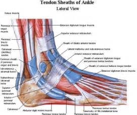 ankylet muscle picture 2