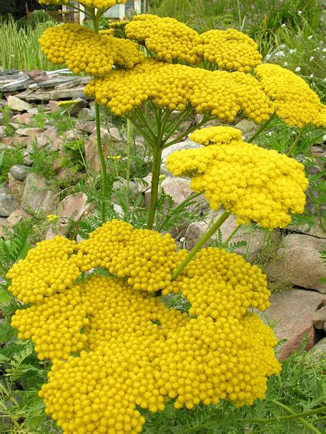 yellow yarrow picture 7